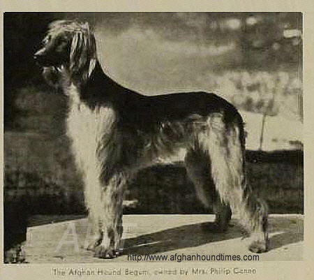 Afghan Hound Times - AFGHAN HOUND BEGUM Vintage Wire Photo Date-- 2/13/34