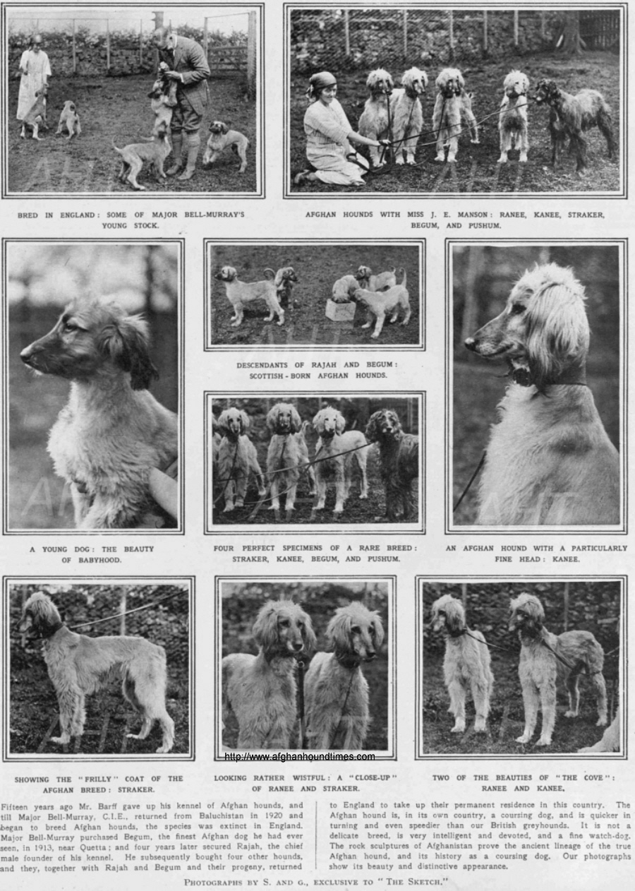 http://www.afghanhoundtimes.com Bell Murray/Cove Afghan photo gallery (The Sketch, August 1922)