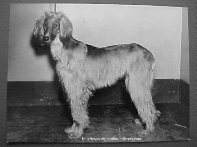 Afghan Hound Times - AFGHAN HOUND Vintage Wire Photo Date-- 2/13/34