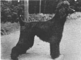 http://www.afghanhoundtimes.com PHOTO  Turkuman Nissims Laurel