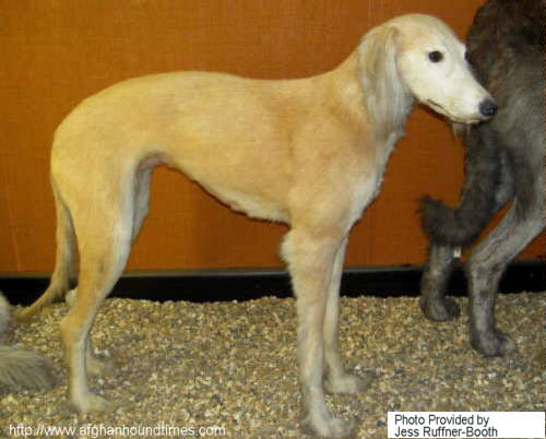 Early Afghan Hounds -  Moroo