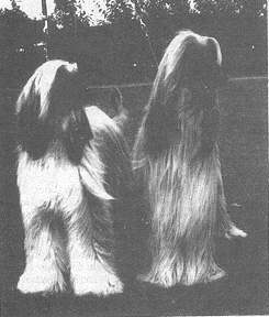 Afghan Hound Times photo Bletchley Hall Fire-Song