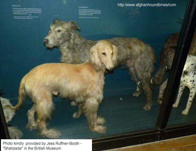 Early Afghan Hounds -  Shahzada, British Museum - Color Photo